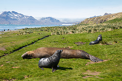 Southern Elephant Seals & Fur Seals, Grytviken Whaling Station