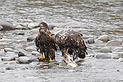 A three-year-old bald eagle (Haliaeetus leucocephalus) feeds on a salmon carcass in the Nooksack River of Washington state while a younger juvenile waits for its opportunity to eat. Hundreds of bald eagles winter along the river to feast on spawned salmon.