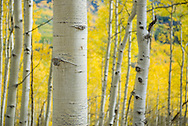 Fall foliage on County Road 12 outside Crested Butte, Colorado near Kebler Pass.