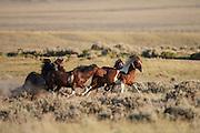 Wild mustang stallions fighting in Wyoming