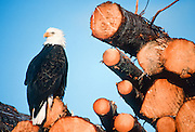 Bald Eagle and logging