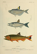 Hydrocynus [Here as Hydrocyn] is a genus of large characin fish in the family Alestidae hand coloured sketch From the book 'Voyage dans l'Amérique Méridionale' [Journey to South America: (Brazil, the eastern republic of Uruguay, the Argentine Republic, Patagonia, the republic of Chile, the republic of Bolivia, the republic of Peru), executed during the years 1826 - 1833] Volume 5 Part 1 By: Orbigny, Alcide Dessalines d', d'Orbigny, 1802-1857; Montagne, Jean François Camille, 1784-1866; Martius, Karl Friedrich Philipp von, 1794-1868 Published Paris :Chez Pitois-Levrault. Publishes in Paris in 1847
