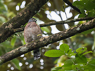 Double-toothed Kite (harpagus bidentatus) perched in a residential barrio of Quepos, Costa Rica.