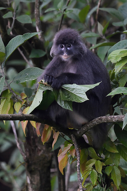 Phayre's leaf monkey or Phayres langur, Trachypithecus phayrei, siiting on a tree at He Xin Chang Forest reserve, Dehong Prefecture, Yunnan Province, China