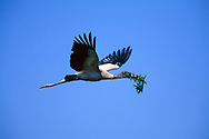 Wood stork (Mycteria americana) in flight carrying foliage to nest, © David A. Ponton