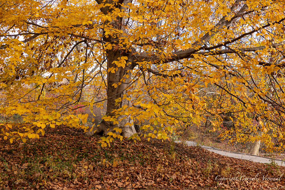 European Beech tree near the Hernshead in Central Park, Nov. 27, 2020.