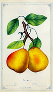 The Seckel pear (or sugar pear) is a small, very sweet cultivar of pear believed to have originated in Pennsylvania. from Dewey's Pocket Series ' The nurseryman's pocket specimen book : colored from nature : fruits, flowers, ornamental trees, shrubs, roses, &c by Dewey, D. M. (Dellon Marcus), 1819-1889, publisher; Mason, S.F Published in Rochester, NY by D.M. Dewey in 1872