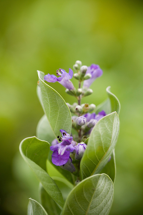 close-up of Pohinahina blossom