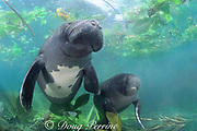 Amazonian manatees, Trichechus inunguis, showing white ventral patterns typical of this species of sea cow, INPA/LMA, Brazil, South America
