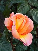 Rose, Wellington Botanical Garden, North Island, New Zealand