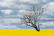 Tree without leaves in middle of a field of canola against storm clouds near Boree Creek, New South Wales, Australia <br />