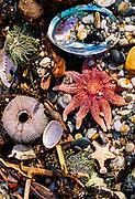 Starfish & shells, West Coast beach, New Zealand