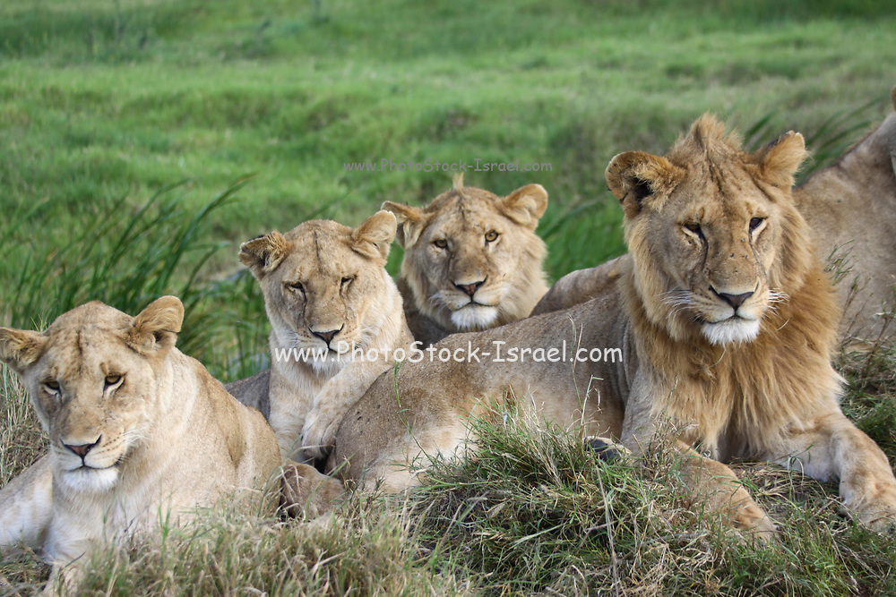 A litter of young lion cubs Photographed at Serengeti National Park, Tanzania