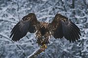 Stretching juvenile white-tailed eagle