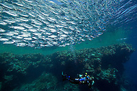School of Barred Flagtails and Diver