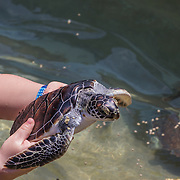 North America, Caribbean, Cayman Islands, Cayman, Grand Cayman, Georgetown, <br /> Fun with turtles at the Cayman Turtle Farm in Georgetown, Grand Cayman, Cayman Islands.