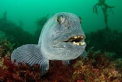 Anarhichas lupus, Gestreifter oder Atlantischer Seewolf, Atlantic wolffish, Akureyri, Eyjafjord, Groenlandsee, Nord Island, Eyafiord, Greenland Sea, North Iceland