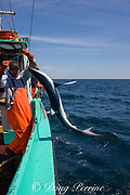 crew of longline fishing boat pulls in a blue shark ( Prionace glauca ) taken as bycatch while fishing for porbeagle shark; they are not allowed to keep the low-value blue shark and will throw it back to die after cutting the hook out of its mouth; Nova Scotia, Canada ( North Atlantic Ocean )