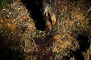 PMM#071109_The Chase_ Herdade do Peral, Évora, Alentejo, Portugal. A dead boar killed by hunters.
