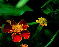 Marigold Flower. AeroGarden Farm 04 Left. Fuji X-T3 camera and 80 mm f/2.8 OIS macro lens (ISO 800, 80 mm, f/11, 1/30 sec).