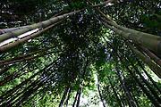 Belo Horizonte_MG, Brasil...Bambus no Jardim Botanico de Belo Horizonte...Bamboos in the Botanical garden in Belo Horizonte. ..Foto: LEO DRUMOND / NITRO