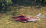 Sockeye Salmon Spawning<br /> <br /> Patrick Clayton/Engbretson Underwater Photography