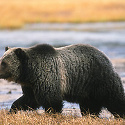 Grizzly bear (U.a. horribilis) in Yellowstone National Park during autumn.