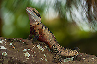 Water dragon, Taronga Zoo, Sydney Harbor, Sydney, New South Wales, Australia