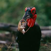 African Hornbills