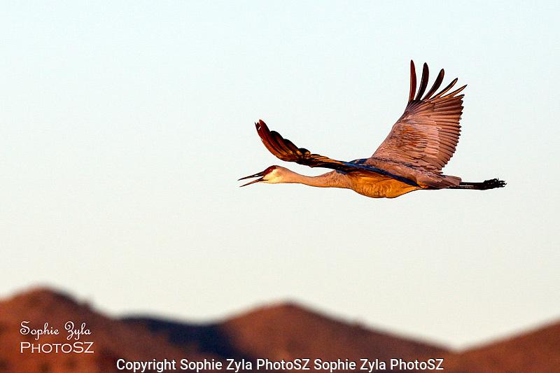 Sandhill Crane in Flight over mountains