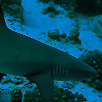 Reef White Tipped Shark, Triaeonodon obesus, (Rüppell, 1837), Molokini Crater 110 ft