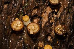 Te Urewera National Park, Brown Birdsnest Fungus, Crucibulum laeve