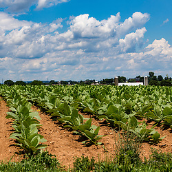 Ronks, PA / USA - June 27, 2017: Tobacco in a Lancaster County farmer's field is growing into mature plants.
