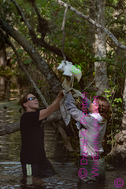 National Park Service employees work to free a great egret that became ensnared by fishing line that was snagged and left on a tree branch, Big Cypress National Preserve, Florida, © David A. Ponton