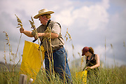 A sea oats farmer and his daughter harvest seeds on the North Carolina coast