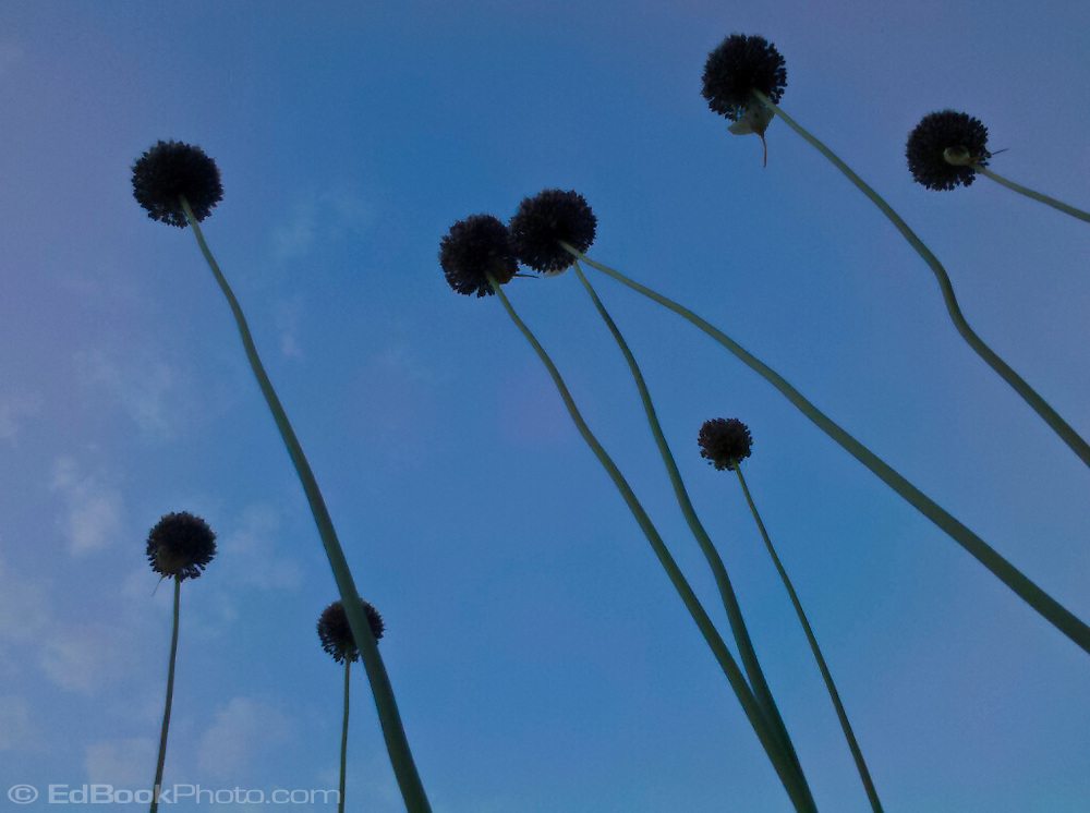 looking up at garlic flowers