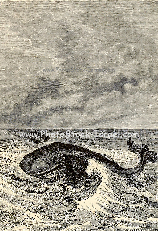 They are nothing but mouth and teeth From the Book Twenty thousand leagues under the seas, or, The marvelous and exciting adventures of Pierre Aronnax, Conseil his servant, and Ned Land, a Canadian harpooner by Verne, Jules, 1828-1905 Published in Boston by J.R. Osgood in 1875