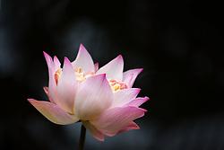 Lotus, nelumbo, pink #1