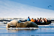 """Walruses and eco-tourists from the wesssle """"Polar Star"""" at Magdelenefjord, Spitsbergen, Svalbard."""