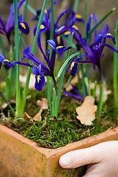 Sarah holding square terracotta pot planted with Iris reticulata
