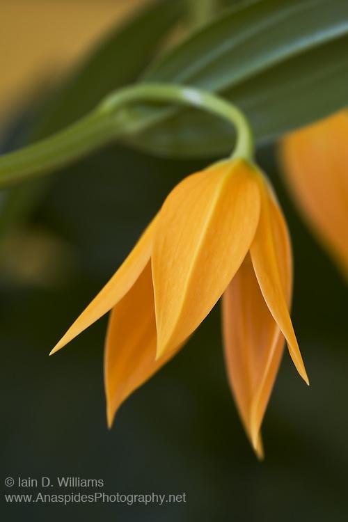 South African Climber (Littonia modesta) - Tasmania..South African climber plant