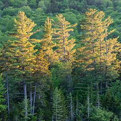 Late day light paints the pine trees next to Little Lyford Pond in Maine's 100 Mile WIlderness near the Appalachian Mountain Club's Little Lyford Lodge.