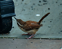 Carolina Wren (Thryothorus ludovicianus). Image taken with a Fuji X-T2 camera and 100-400 mm OIS telephoto zoom lens.