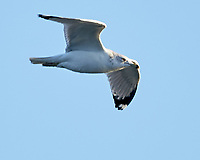 Ring-billed Gull (Larus delawarensis). Fort De Soto Park. Pinellas County, Florida. Image taken with a Nikon D4 camera and 500 mm f/4 VR lens.