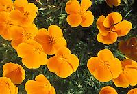 Poppies, The California State Flower, Mendocino California