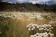 Diamantina_MG, Brasil...Detalhe de um campo de Sempre-vivas (Paepalanthus Speciosus) em Diamantina...The field of Sempre-vivas (Paepalanthus Speciosus) in Diamantina...Foto: JOAO MARCOS ROSA / NITRO