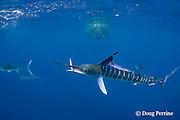 striped marlin, Kajikia audax (formerly Tetrapturus audax ), with sardine in mouth, taken while feeding on baitball of sardines or pilchards, Sardinops sagax, off Baja California, Mexico ( Eastern Pacific Ocean )