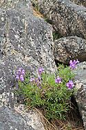 Shrubby Penstemon (Penstemon fruticosus) blooming in the rocks on the shore of Okanagan Lake in Ellison Provincial Park, Vernon, British Columbia, Canada