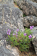 Shrubby Penstemon (Penstemon fruticosus) blooming in the rocks on the shore of Okanagan Lake in Ellison Provincial Park, Vernon, British Columbia, Canada