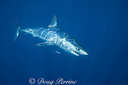 shortfin mako shark, Isurus oxyrhinchus, female with mating scars & small patch of copepod parasites on flank, accompanied by pilot fish, Naucrates ductor, King Bank, North Island, New Zealand ( South Pacific Ocean )